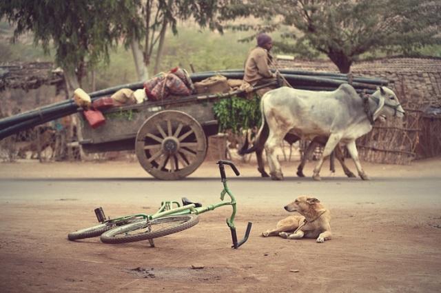 043 - bullock cart bike dog